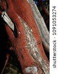 Small photo of Manzanita Tree - genus Arctostaphylos. California, USA. Bark