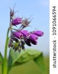 comfrey  symphytum officinale   ... | Shutterstock . vector #1091066594