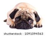 Stock photo pug dog isolated looking sad with the big eyes 1091094563