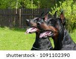 couple of big black doberman... | Shutterstock . vector #1091102390
