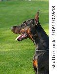 big black doberman male dog... | Shutterstock . vector #1091102648