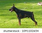 big black doberman male dog... | Shutterstock . vector #1091102654