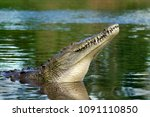 Small photo of American Crocodile with head up in the Tarcoles River, Costa Rica