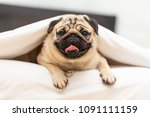 Stock photo cute pug dog breed lying in blanket on white bed in bedroom smile with funny face and feeling so 1091111159