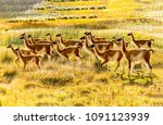 llama herd in savannah... | Shutterstock . vector #1091123939