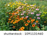 Chrysanthemum In Many Colors.