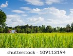 Rice field and blue sky in farmland food of Asia - stock photo