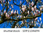 Blooming Magnolia Tree Meets...