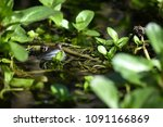 Pond life - ribbit