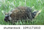 porcupine in the grass | Shutterstock . vector #1091171810