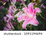 beautiful orchid flower with... | Shutterstock . vector #1091194694