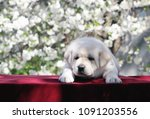 the little yellow labrador... | Shutterstock . vector #1091203556