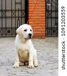 the little yellow labrador... | Shutterstock . vector #1091203559