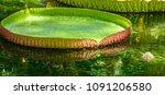 giant water lilies  victoria... | Shutterstock . vector #1091206580