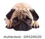 Stock photo pug dog isolated looking sad with the big eyes 1091240120