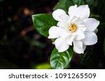 The Beautiful Gardenia Flower...
