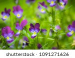 bright flowers of violets in... | Shutterstock . vector #1091271626