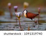 Small photo of Close-up African jacana, Actophilornis africana, colorful african wader with long toes next to violet water lily in shallow water of seasonal lagoon. Ground level photography. Botswana,Okavango delta.