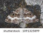 Common Carpet Moth  Epirrhoe...