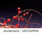 red berries on a dark background | Shutterstock . vector #1091335940