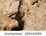 two prairie dogs at the entrance of their burrow - stock photo