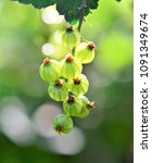 gooseberry growing in spring | Shutterstock . vector #1091349674