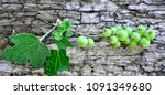 gooseberry growing in spring | Shutterstock . vector #1091349680