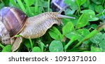 snail eating grass and clover... | Shutterstock . vector #1091371010