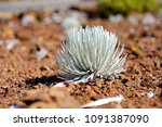 haleakala silversword  highly... | Shutterstock . vector #1091387090