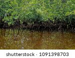 mangrove trees and specular...   Shutterstock . vector #1091398703