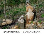trees felled by beavers. sign... | Shutterstock . vector #1091405144