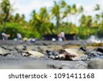 hawaiian green turtles relaxing ... | Shutterstock . vector #1091411168
