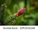 young conifer cone | Shutterstock . vector #1091416160