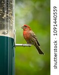 Red Male House Finch Eating At...