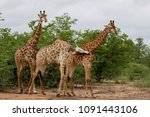 african giraffe fighting with... | Shutterstock . vector #1091443106
