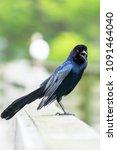 bird on a fence beak open | Shutterstock . vector #1091464040
