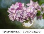 lilac blossoming in uk garden ... | Shutterstock . vector #1091485670