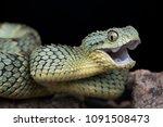happy venomous bush viper snake ... | Shutterstock . vector #1091508473
