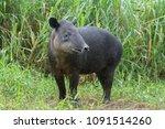 Baird's Tapir In Cloud Forest...