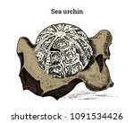 preserved sea urchin specimen.... | Shutterstock .eps vector #1091534426