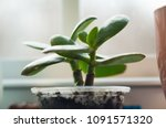 Green Jade Plant Succulent In...