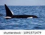 killer whale   orcinus orca | Shutterstock . vector #1091571479