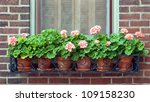 Geraniums In Wrought Iron...