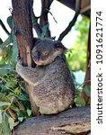 Small photo of PORT DOUGLAS, AUSTRALIA - CIRCA DECEMBER 2014: Koala sleeping at a wildlife park