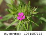 tiny flower of the cut leaved... | Shutterstock . vector #1091657138