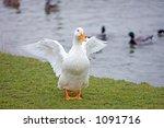 White Duck With Orange Beak An...