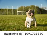 little dog is sitting on the... | Shutterstock . vector #1091739860