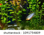 pearl gourami in a aquarium ... | Shutterstock . vector #1091754809