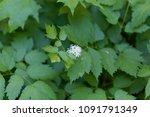 Small photo of Flower of a Eurasian baneberry or herb Christopher (Actaea spicata) a European wild flower.