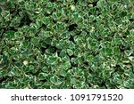 top view group of green leaves... | Shutterstock . vector #1091791520